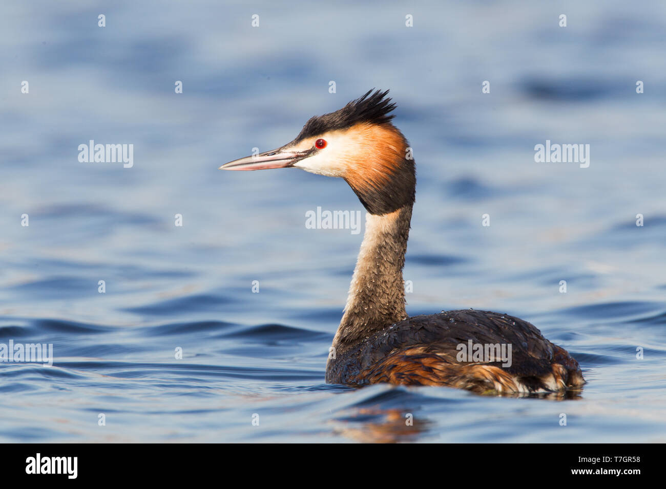Adult Great Crested Grebe in breedingplumage Stock Photo