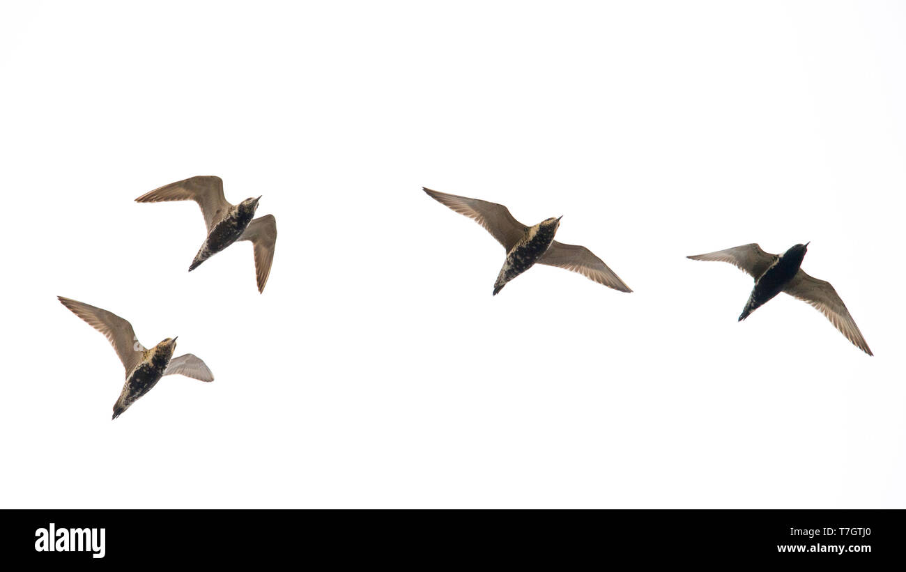 A flock of adult Pacific Golden Plovers (Pluvialis fulva) in flight. Mongolia - Stock Image