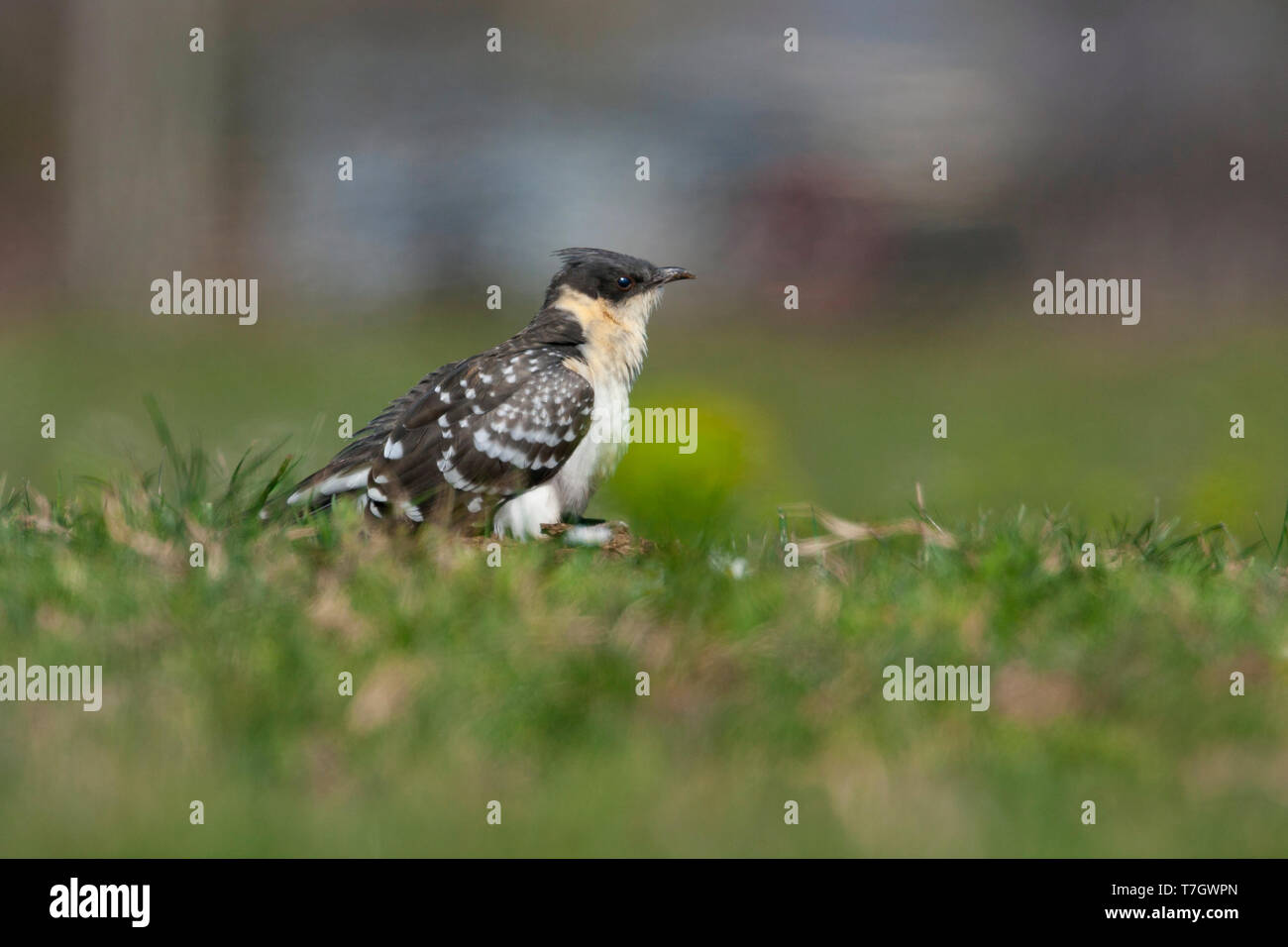 Great Spotted Cuckoo (Clamator glandarius), side view of a first summer individual standing on the ground - Stock Image