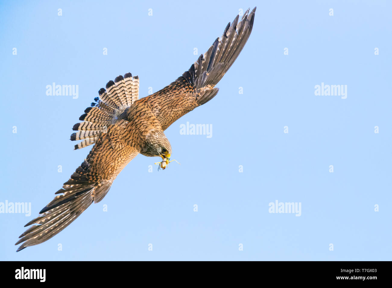Lesser Kestrel (Falco naumanni), female in flight showing upper parts and wings. Carrying a cricket in its beal. - Stock Image