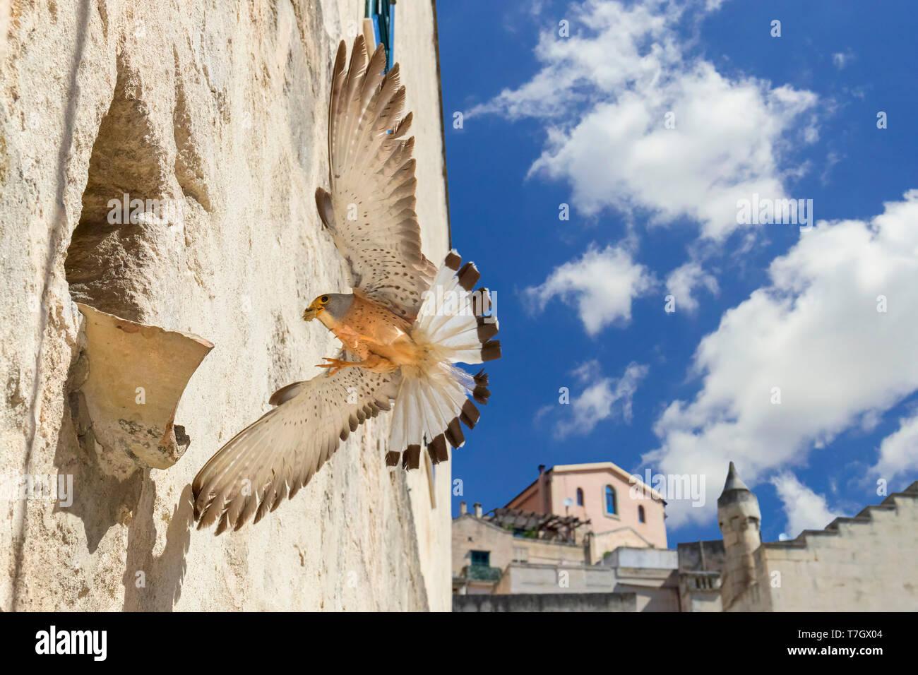 Lesser Kestrel (Falco naumanni), adult male arriving at nest in Matera Stock Photo