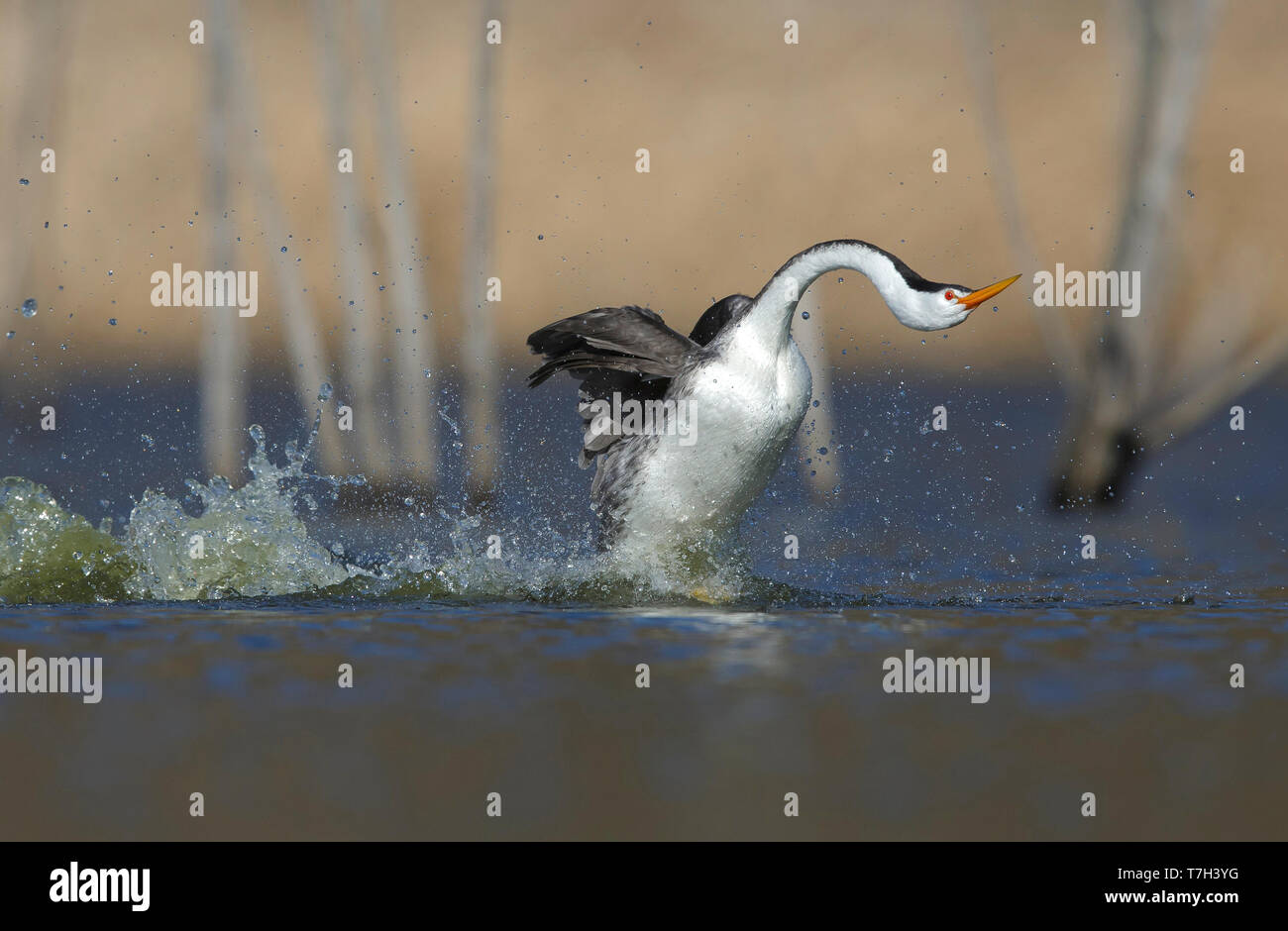 Adult in 'rushing' display One Clark's Grebe (Aechmophorus clarkii)  in 'rushing' display, running in sync over a freshwater lake in San Diego County, - Stock Image