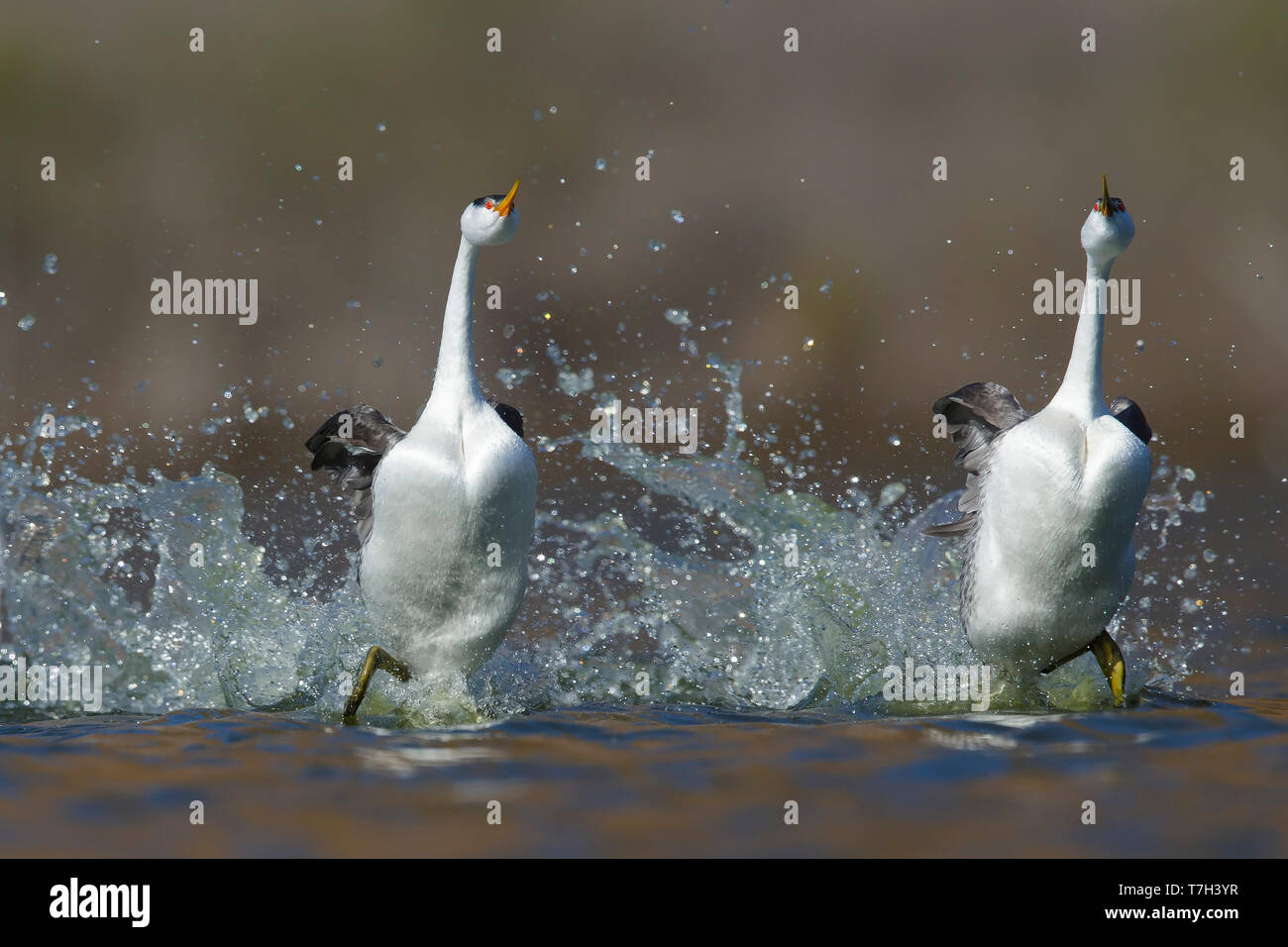 Pair of Clark's Grebe (Aechmophorus clarkii)  in 'rushing' display, running in sync over a freshwater lake in San Diego County, California, USA, durin - Stock Image
