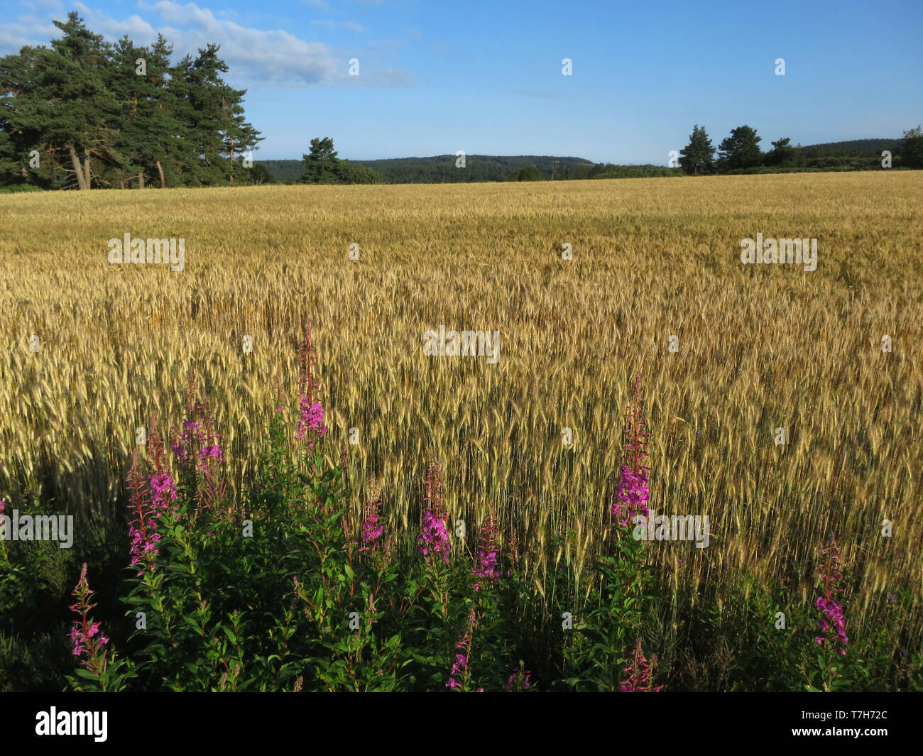 Wheat field along the GR 65, Via Podiensis, also know as Le Puy Route, in southern France. French part of the Camino de Santiago. - Stock Image