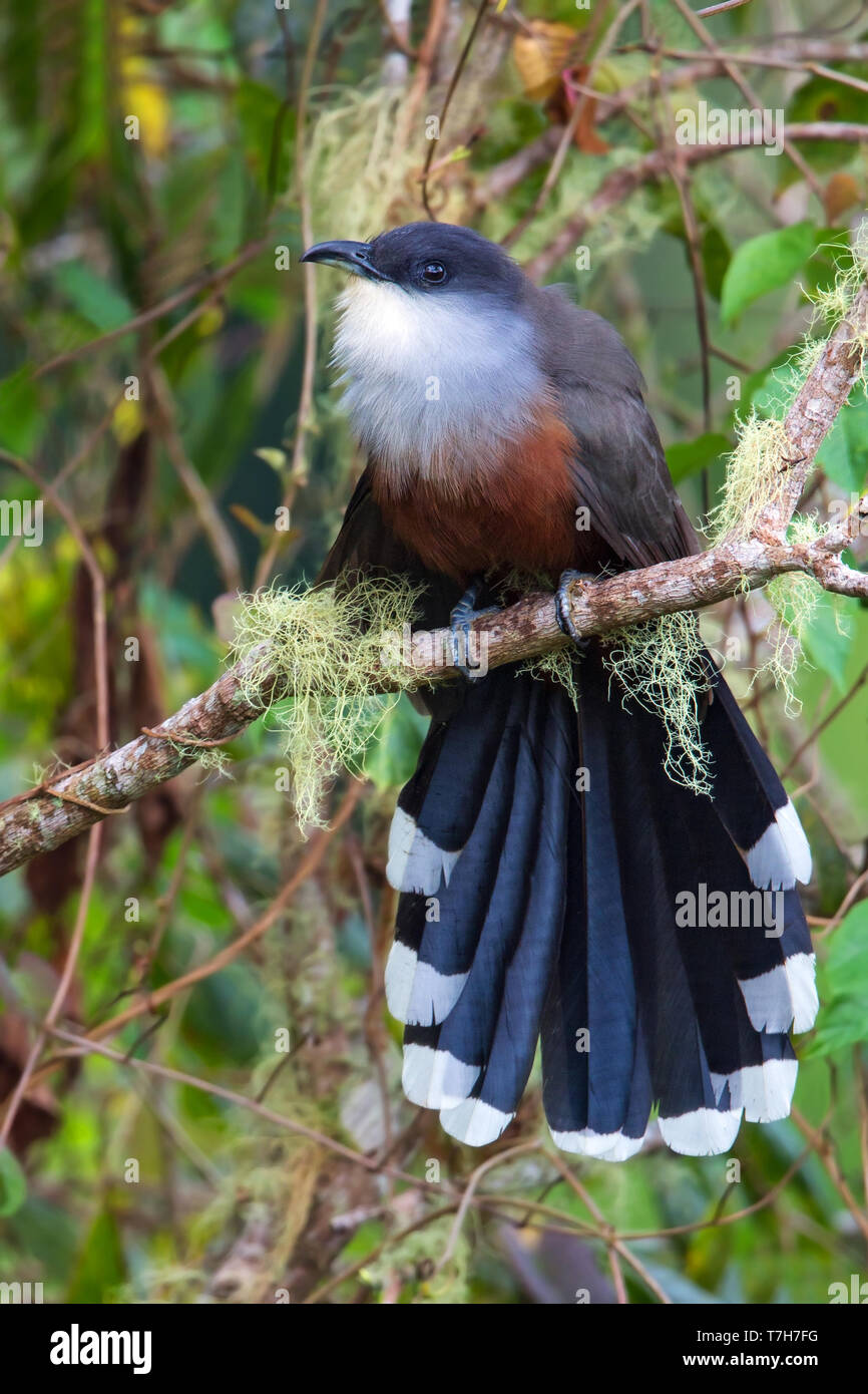 Chestnut-bellied Cuckoo (Coccyzus pluvialis) endemic to Jamaica, perched in the understory, seen from the front showing undertail. - Stock Image