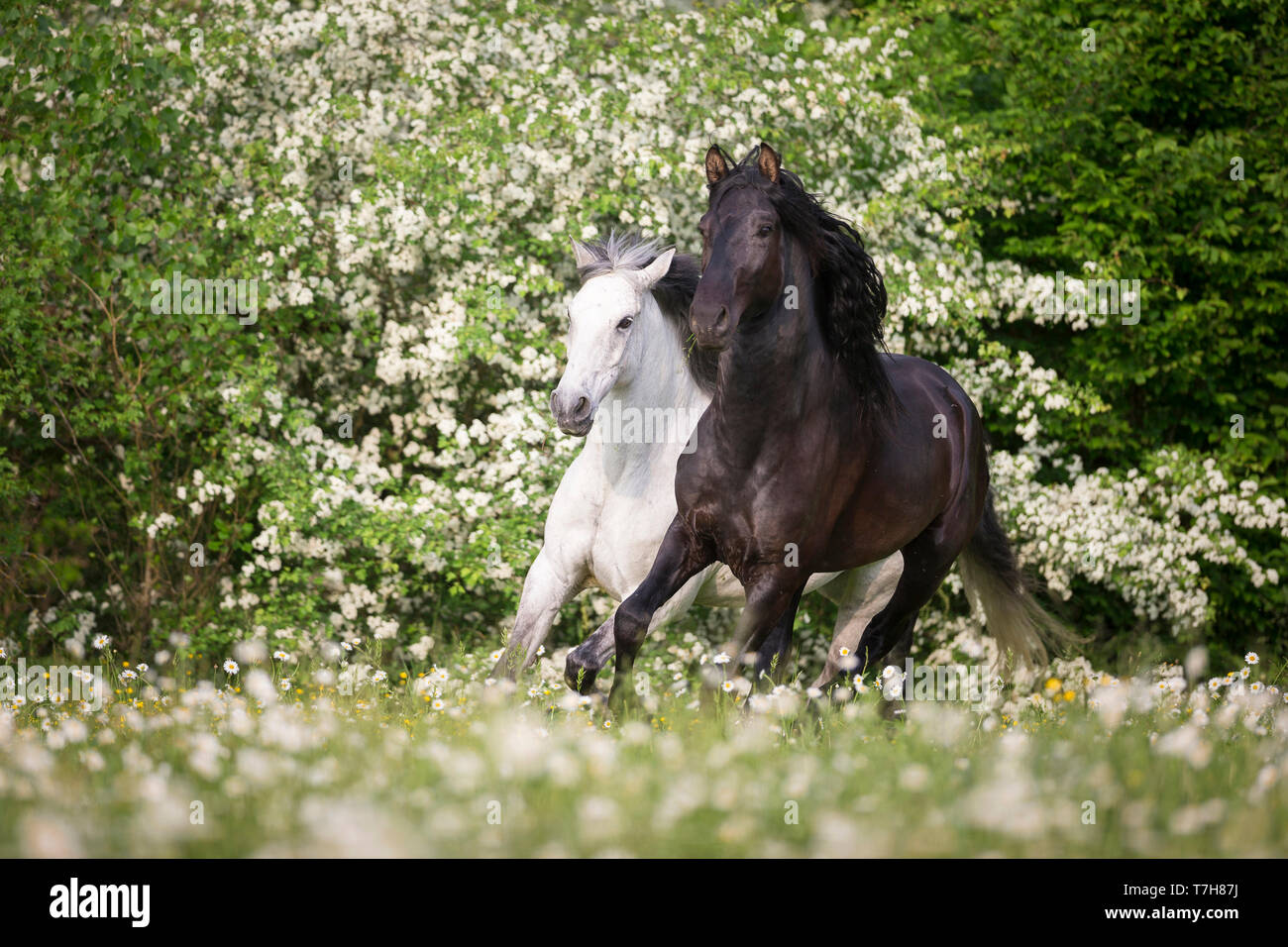 Pure Spanish Horse, Andalusian. Blind gelding and its friend a juvenile black stallion galloping on a flowering meadow. Switzerland, - Stock Image