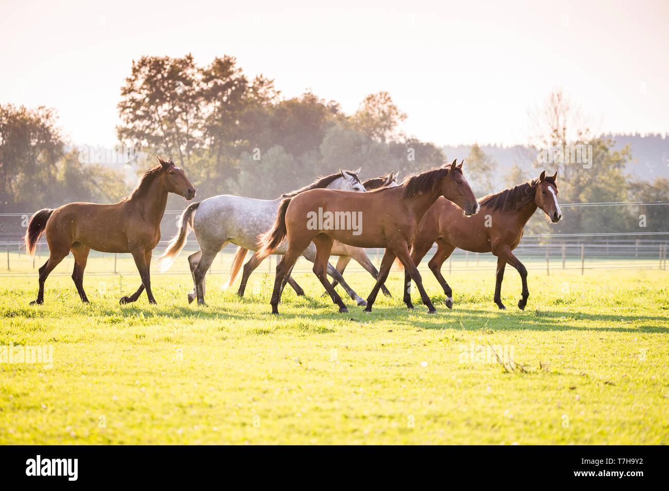 Lusitano. Juvenile mares walking on a pasture. Germany - Stock Image