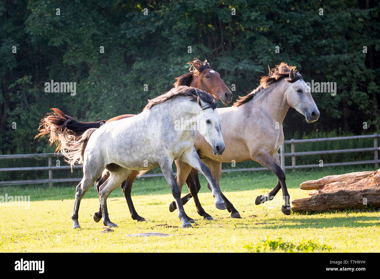 Lusitano. Juvenile mares galloping on a pasture. Germany - Stock Image