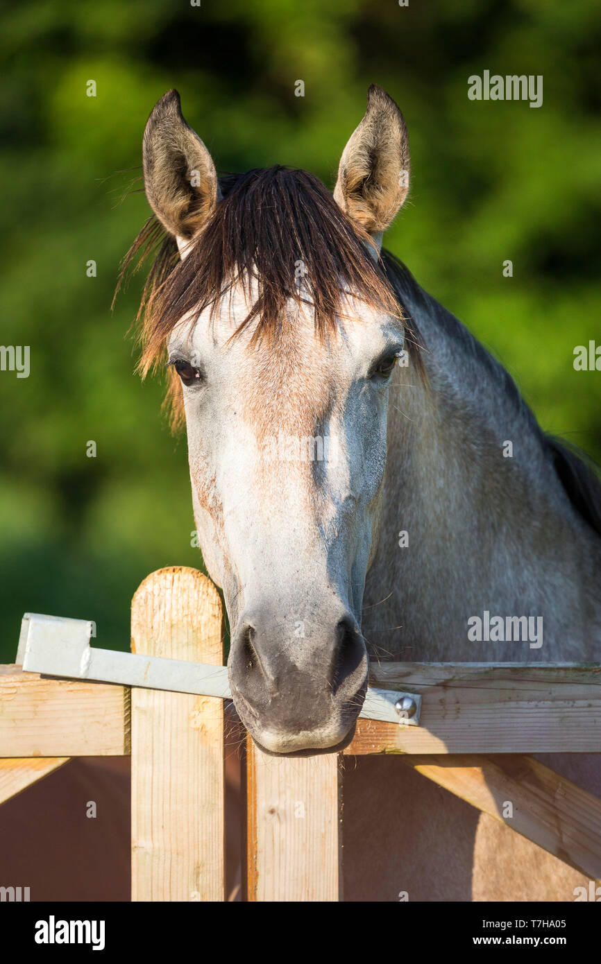Lusitano. Portrait of juvenile grey mare on a pasture, looking over a fence. Germany - Stock Image