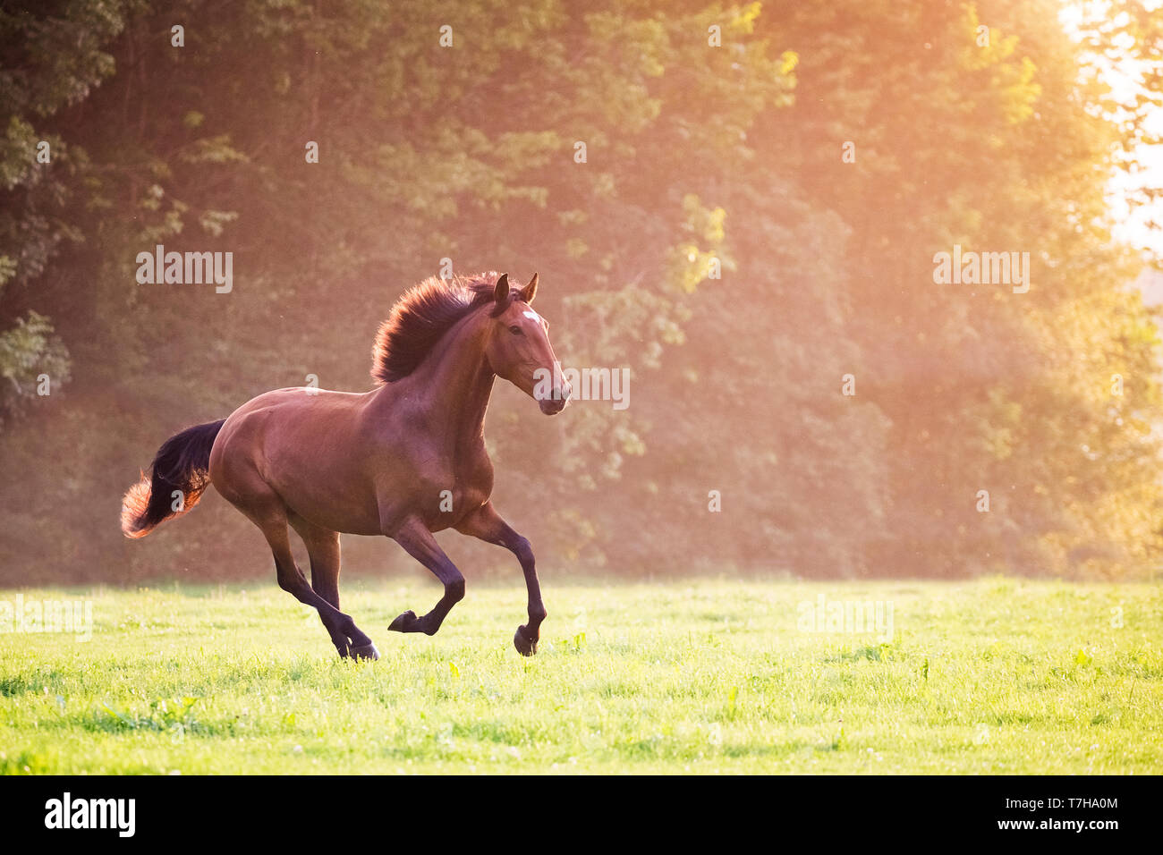 Lusitano. Juvenile bay mare galloping on a pasture in morning mist. Germany - Stock Image