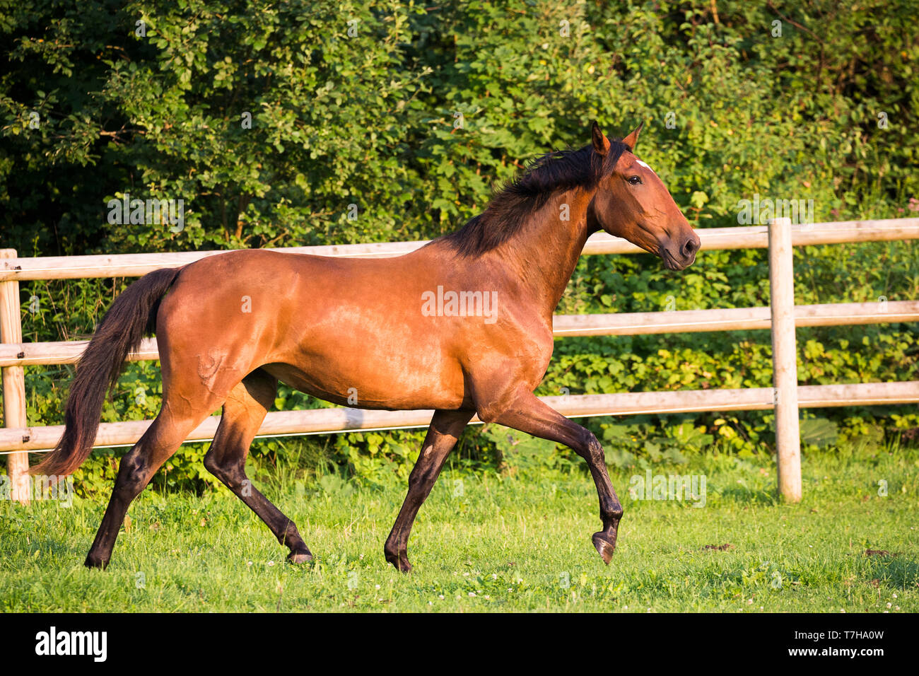 Lusitano. Juvenile bay mare trotting on a pasture. Germany - Stock Image
