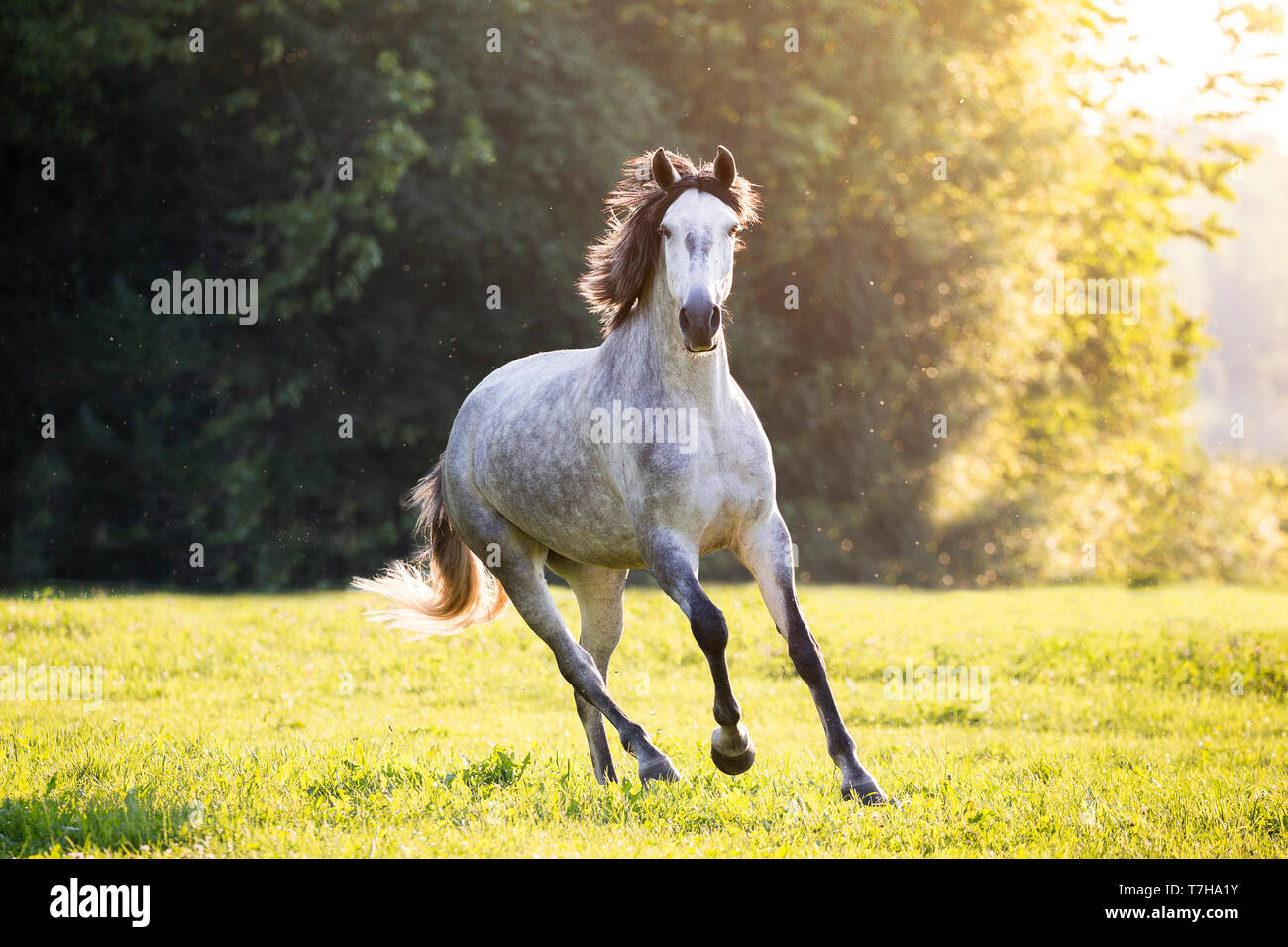 Lusitano. Juvenile gray mare galloping on a pasture. Germany - Stock Image