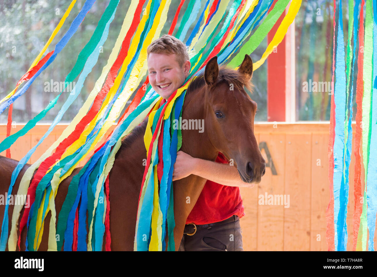 Iberian Sport Horse. Young man with bay foal among colourful ribbons. Part of training to accept unusual things without fear. Germany - Stock Image