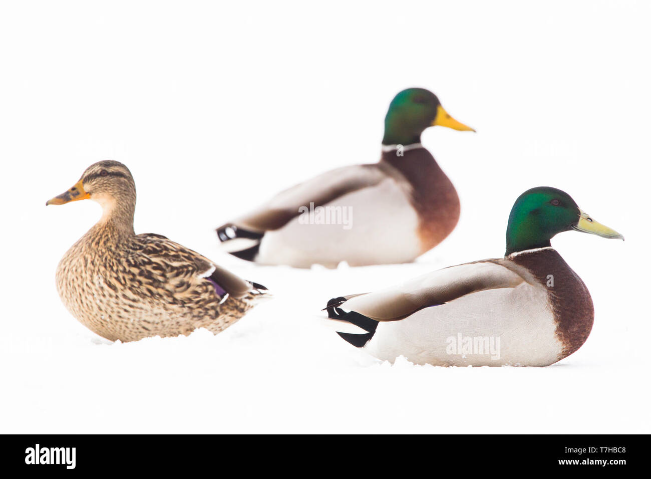 Mallard in the snow - Stock Image