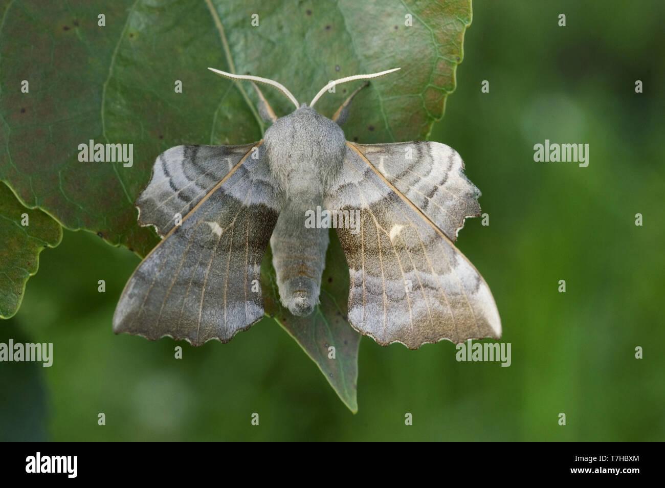 Poplar hawk moth (Laothoe populi) an adult moth on poplar (Popuus) leaf, Devon, May - Stock Image