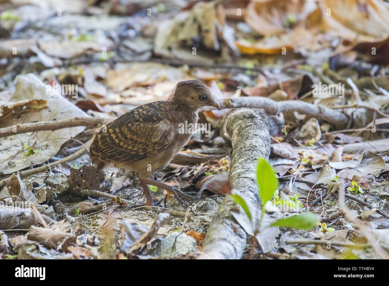 Micronesian Scrubfowl (Megapodius laperouse senex) chick on Palau Island (west Caroline Islands). A species that is rare, localised and in danger of g - Stock Image