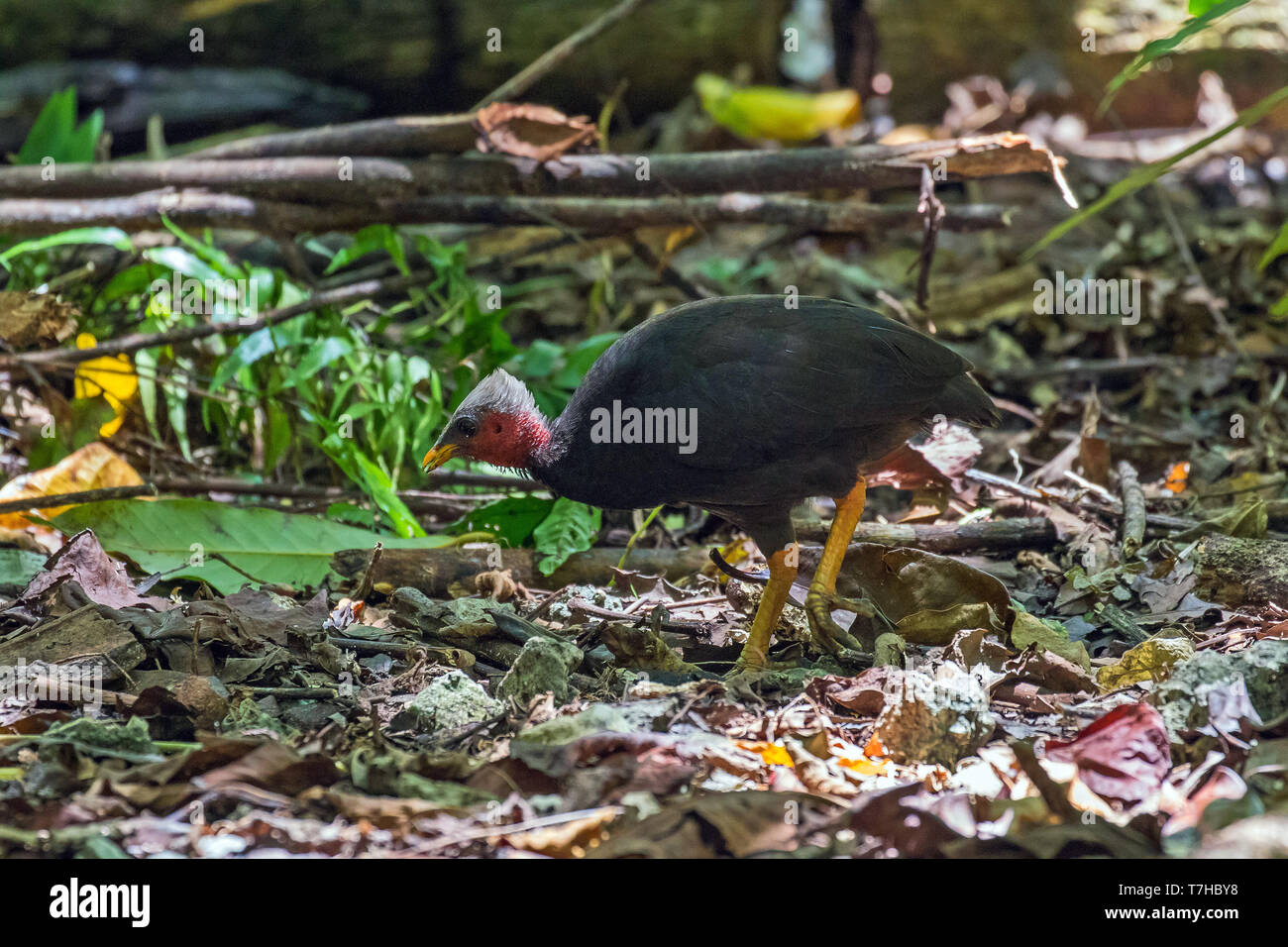 Micronesian Scrubfowl (Megapodius laperouse senex) on Palau Island (west Caroline Islands). A species that is rare, localised and in danger of getting - Stock Image