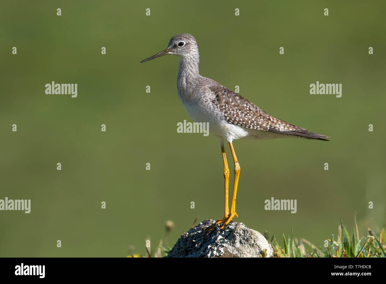 Lesser Yellowlegs (Tringa flavipes) on the Azores. A scarce transcontinental vagrant to Europe. - Stock Image
