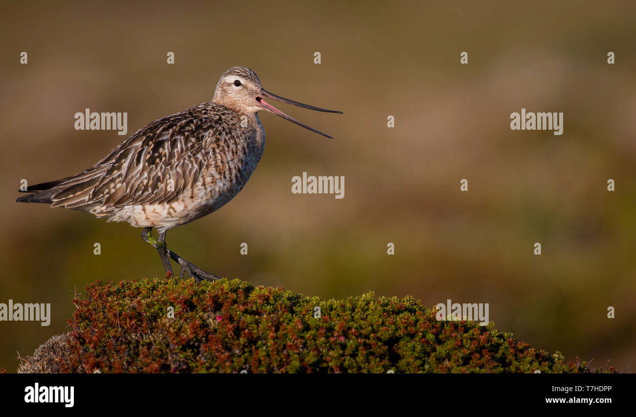 Adult Bar-tailed Godwit (Limosa lapponica) calling from heap in arctic tundra of Norway. Banded individual. - Stock Image