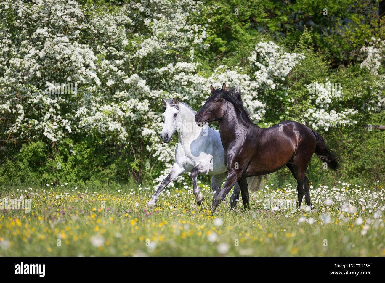 Pure Spanish Horse, Andalusian. Blind gelding and its friend a juvenile black stallion galloping on a flowering meadow. Switzerland - Stock Image