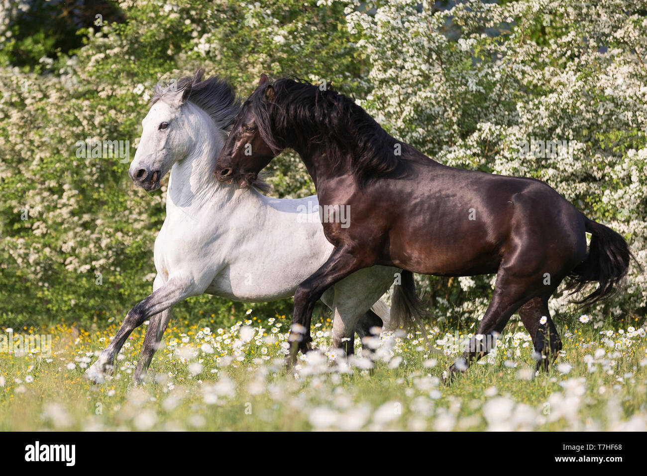 Pure Spanish Horse, Andalusian. Blind gelding and its friend a juvenile black stallion playing on a flowering meadow. Switzerland, - Stock Image