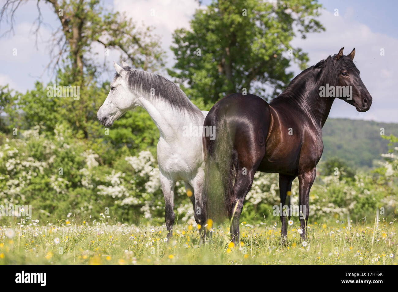 Pure Spanish Horse, Andalusian. Blind gelding and its friend a juvenile black stallion standing on a flowering meadow. Switzerland, - Stock Image