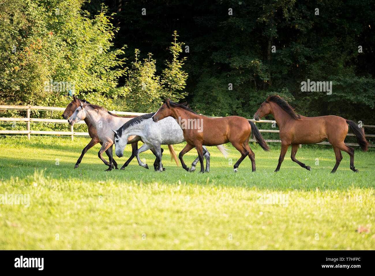 Lusitano. Juvenile mares trotting on a pasture. Germany - Stock Image