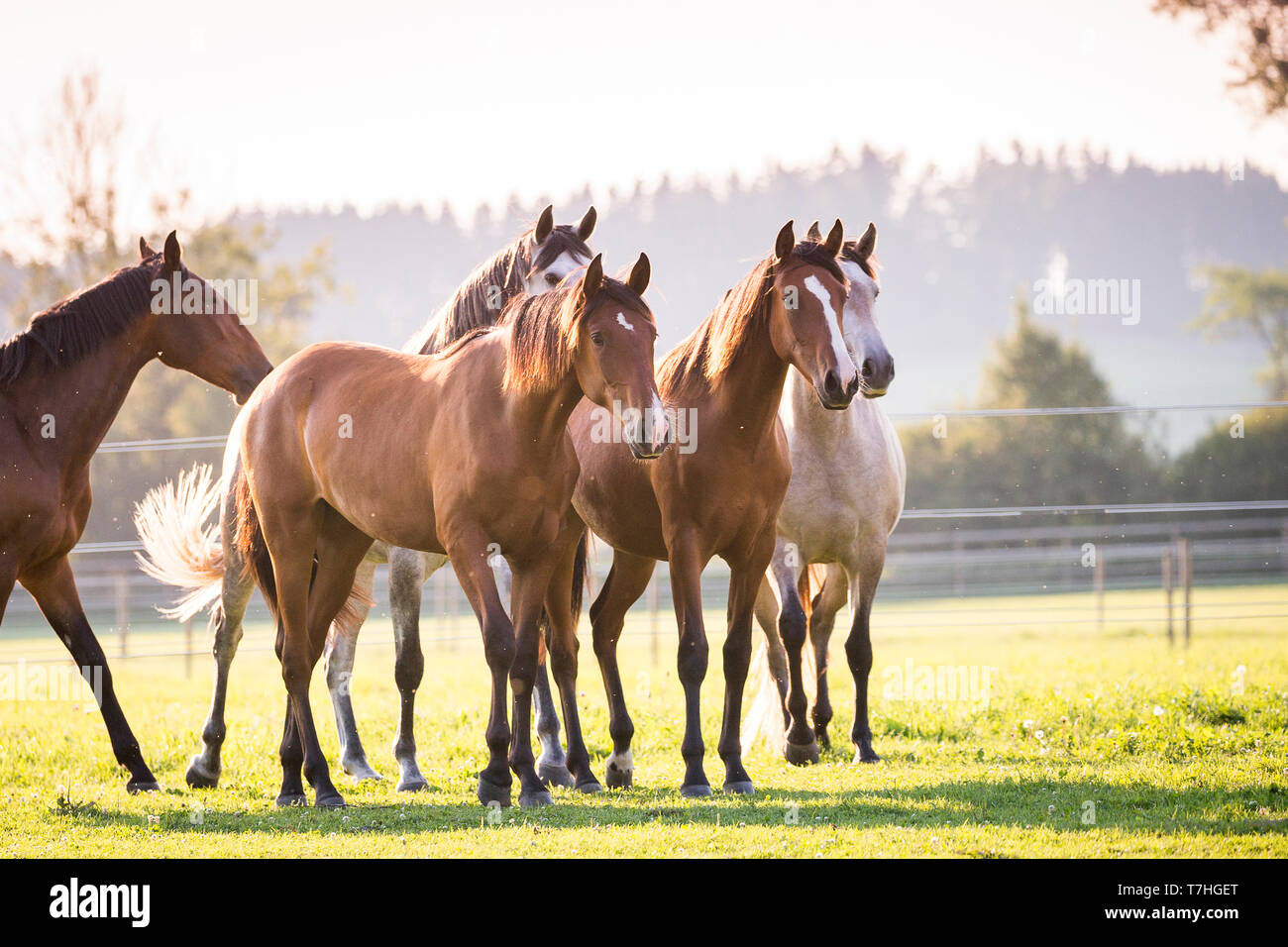Lusitano. Juvenile mares standing on a pasture. Germany - Stock Image