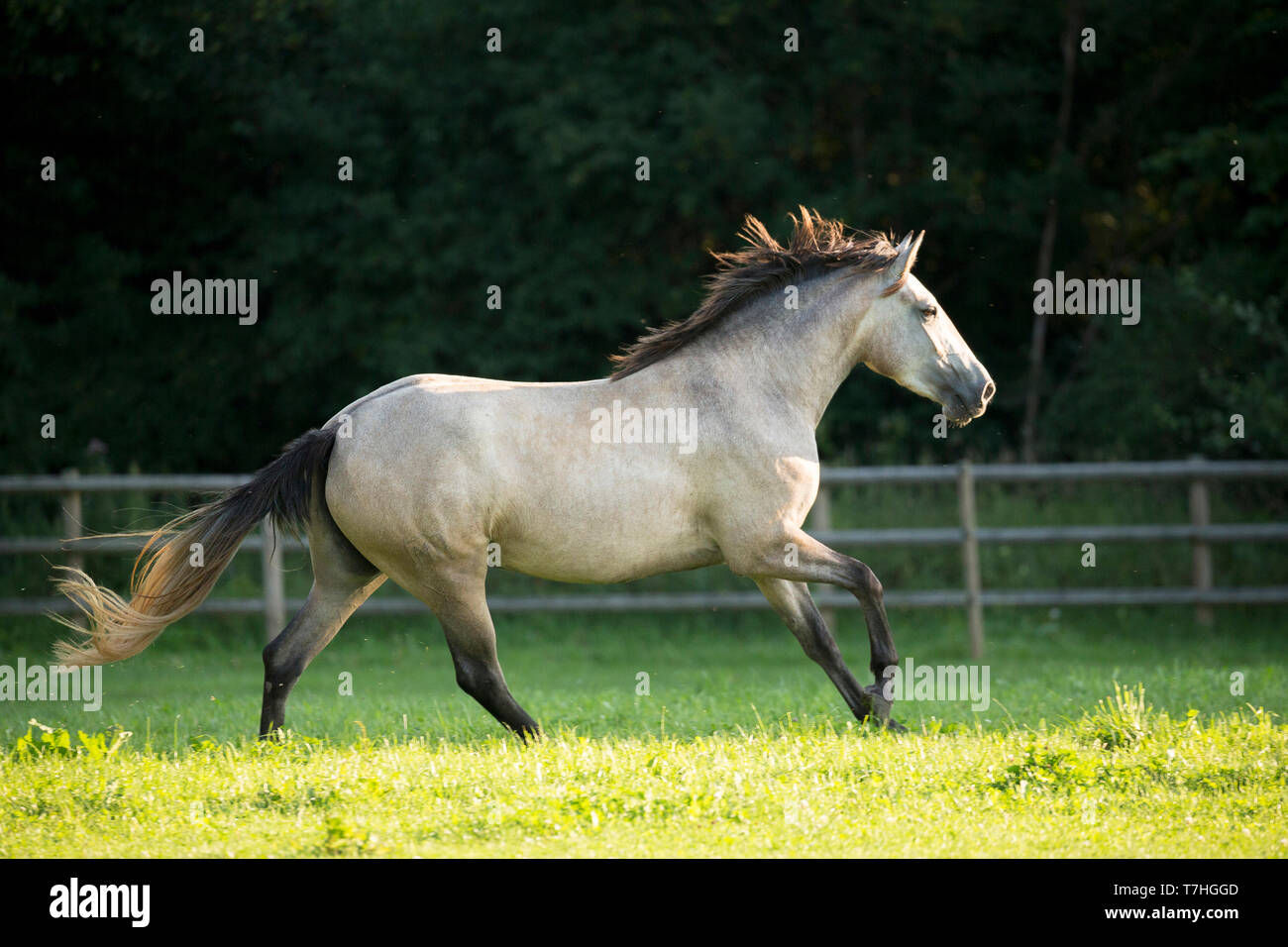 Lusitano. Juvenile grey mare galloping on a pasture. Germany - Stock Image