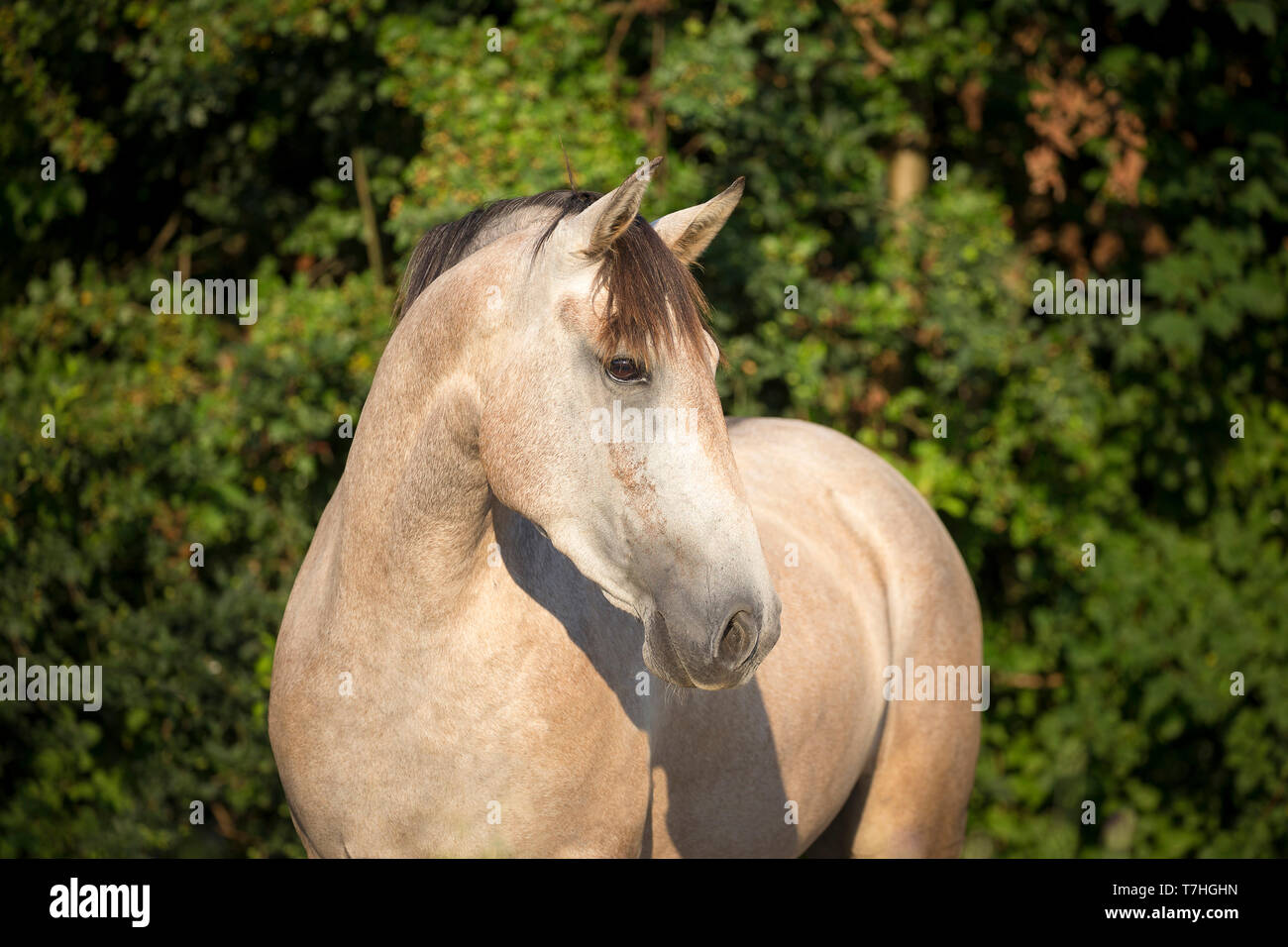 Lusitano. Portrait of juvenile grey mare on a pasture. Germany - Stock Image