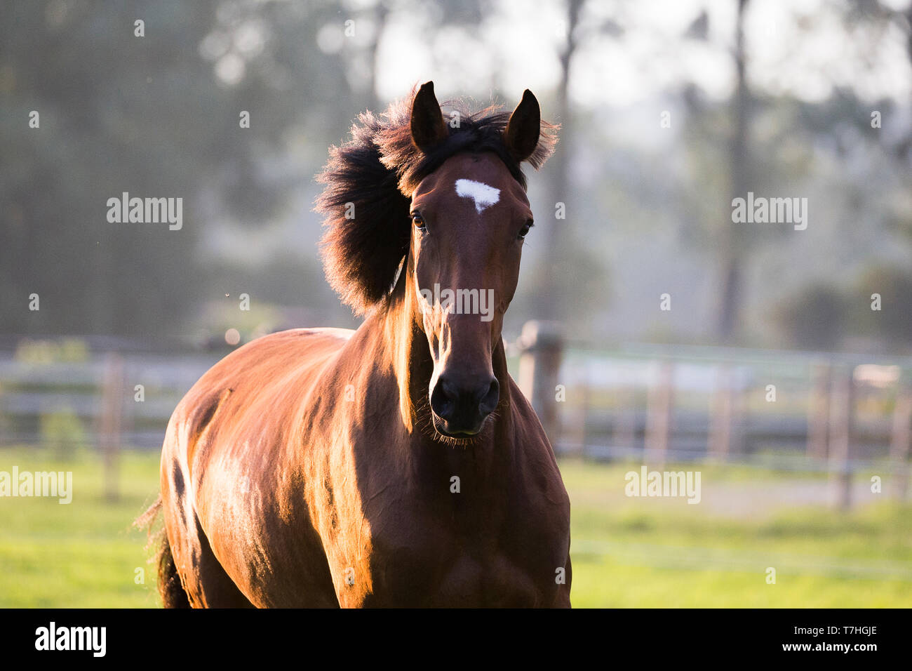 Lusitano. Portrait of juvenile bay mare on a pasture. Germany - Stock Image