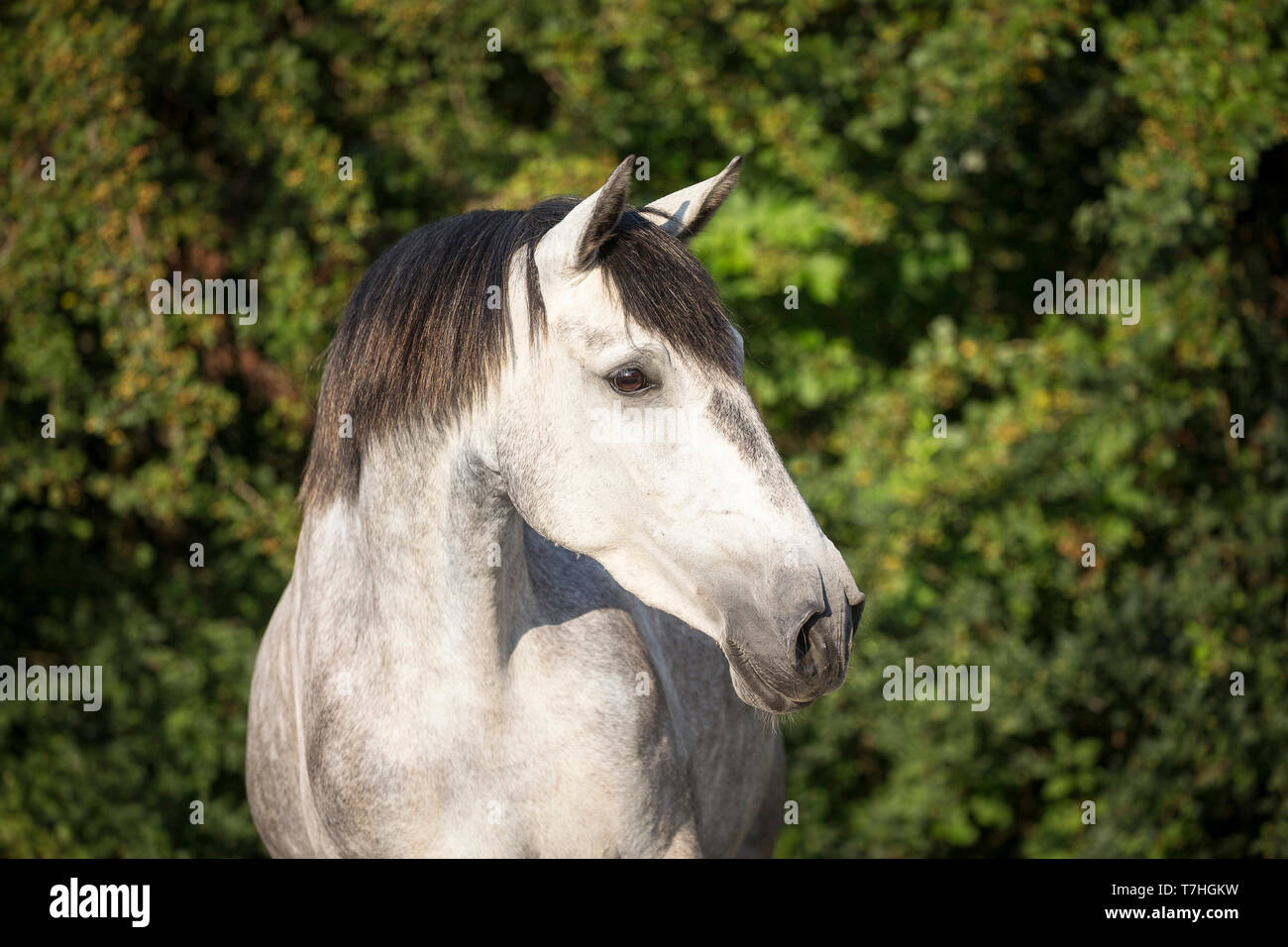 Lusitano. Portrait of juvenile gray mare on a pasture. Germany - Stock Image