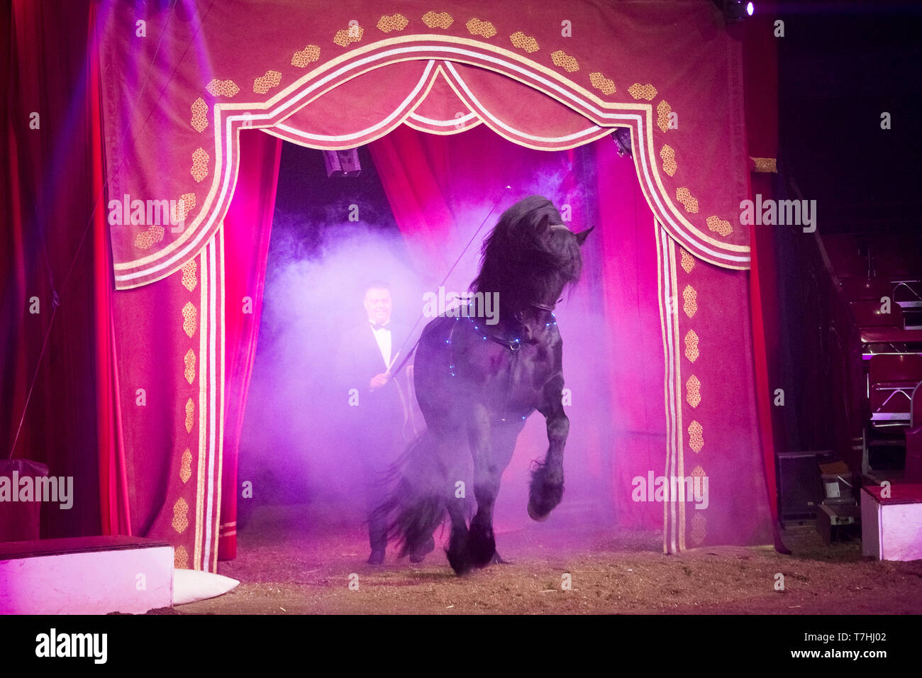 Louis Knie junior in his circus, showing a Friesian stallon at long-rein. Austria. Austria - Stock Image