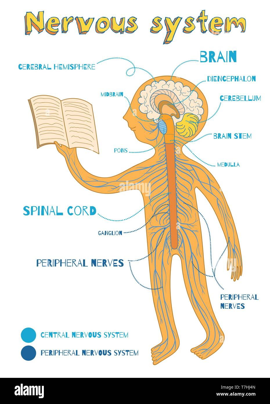 Human nervous system for kids. Vector color cartoon illustration. Human central and peripheral nervous system anatomy scheme. Stock Vector