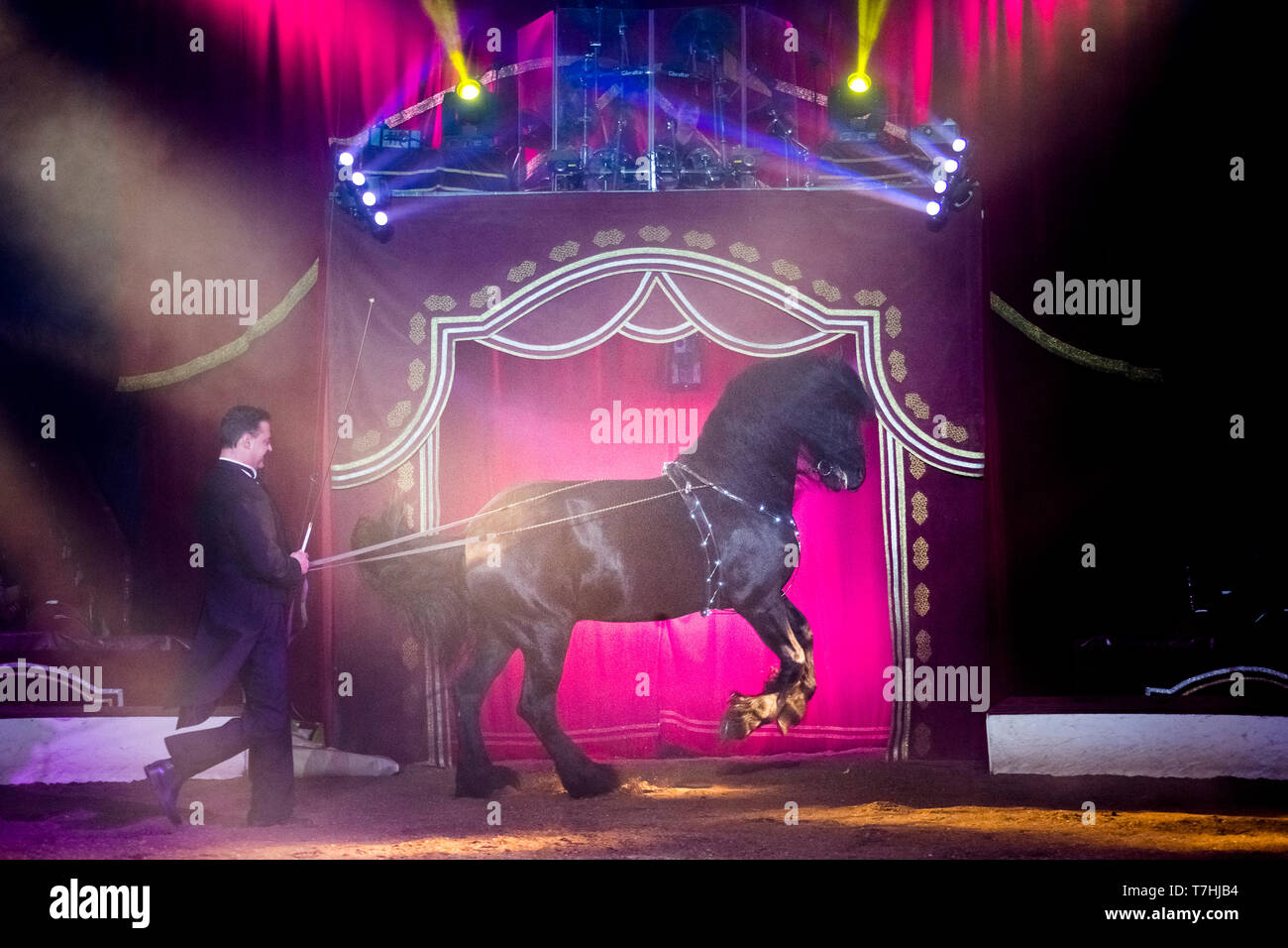 Louis Knie junior in his circus, showing a Friesian stallon at long-rein, performing a pirouette. Austria. Austria - Stock Image