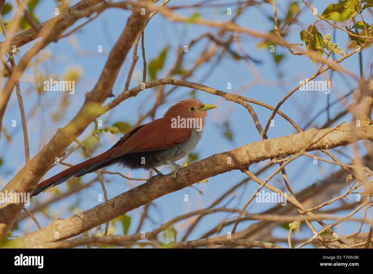 Squirrel Cuckoo, Piaya cayana, Guanacaste province, Costa Rica, Central America - Stock Image