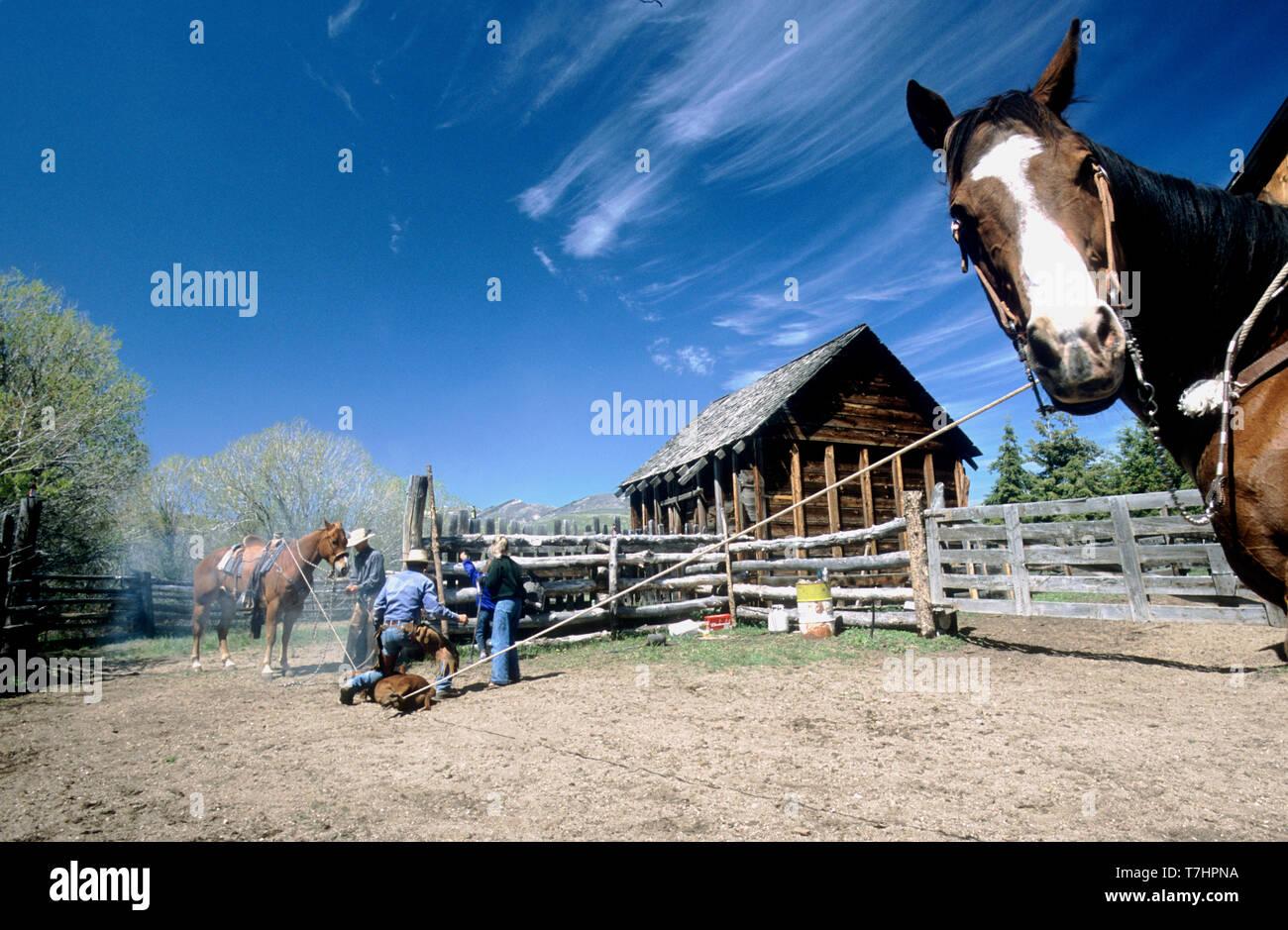 Branding a calf on an Idaho ranch (MR) - Stock Image