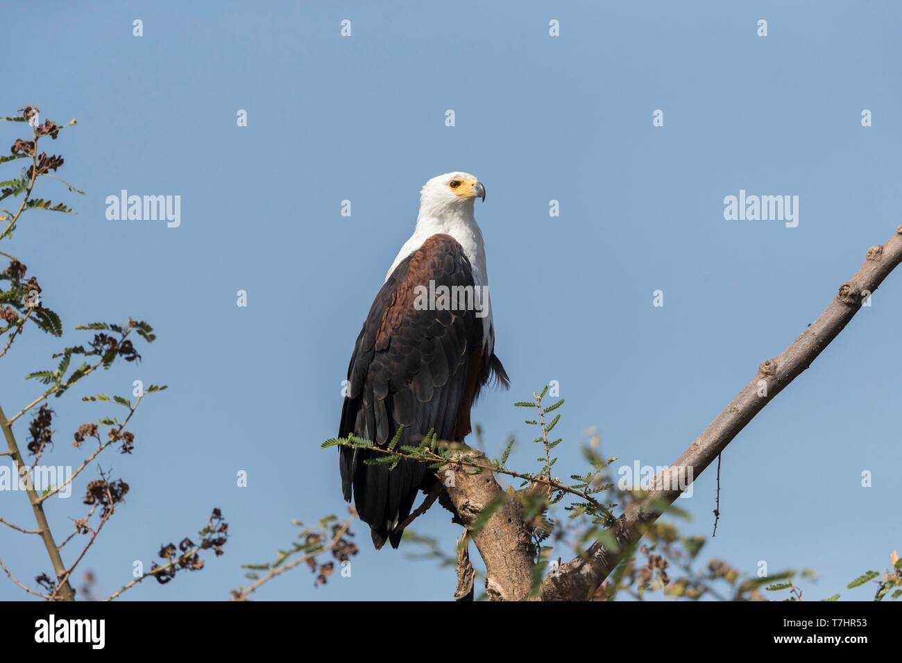 Ethiopia, Rift Valley, Ziway lake, African fish eagle (Haliaeetus vocifer)perched on a branch - Stock Image