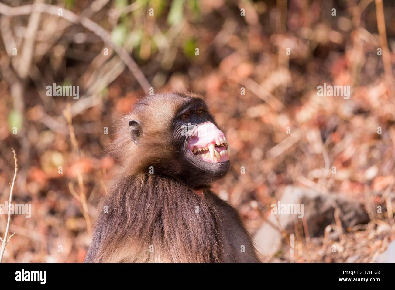 Ethiopia, Rift Valley, Debre Libanos, Gelada or Gelada baboon (Theropithecus gelada), male in intimidation posture, roll up the chops to show a large clear spot - Stock Image