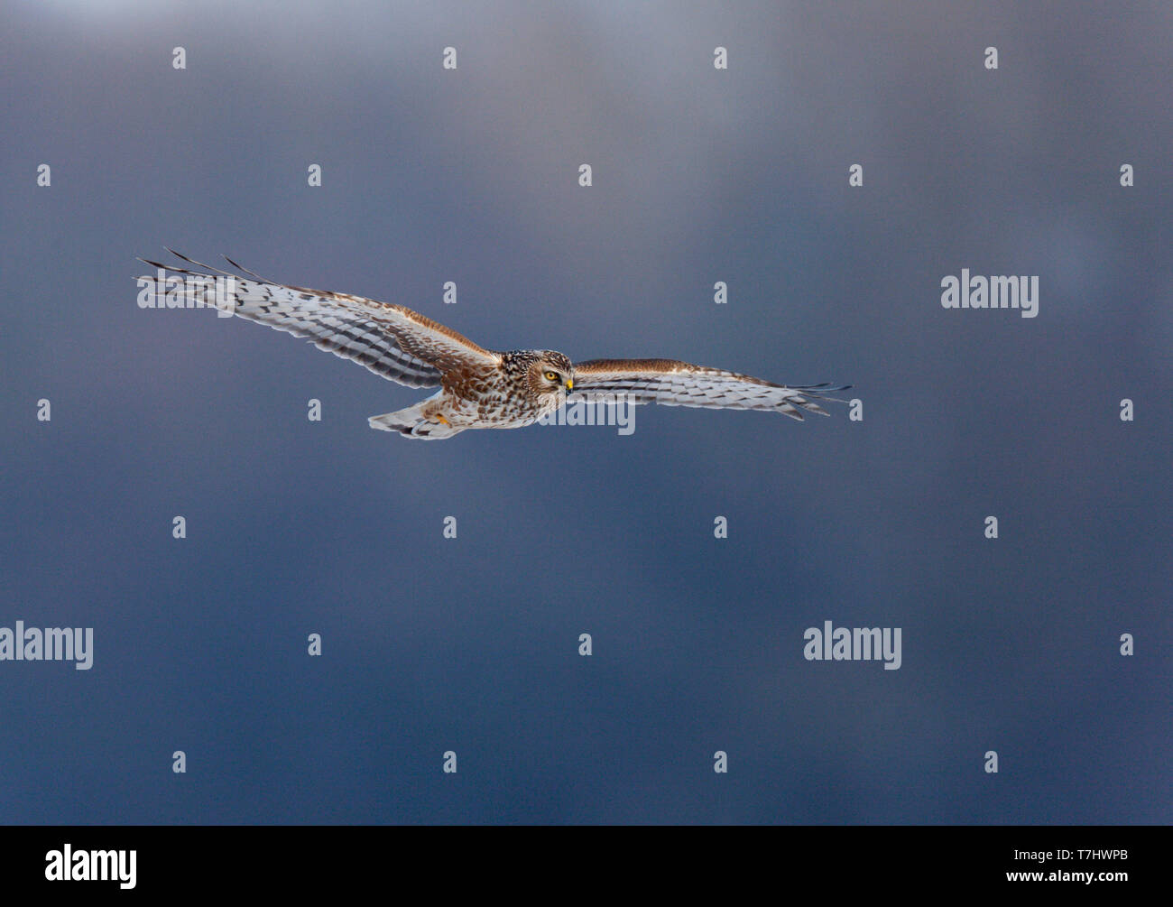 Female Hen Harrier (Circus cyaneus) in flight against a blue background in Limburg, Netherlands. Stock Photo