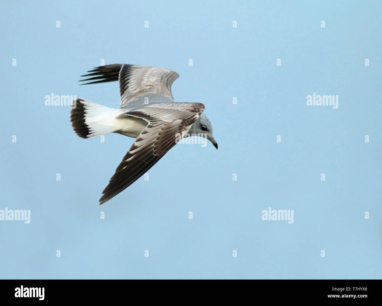 First-winter Common gull (Larus canus canus) in flight. Showing much dark in the tail. - Stock Image