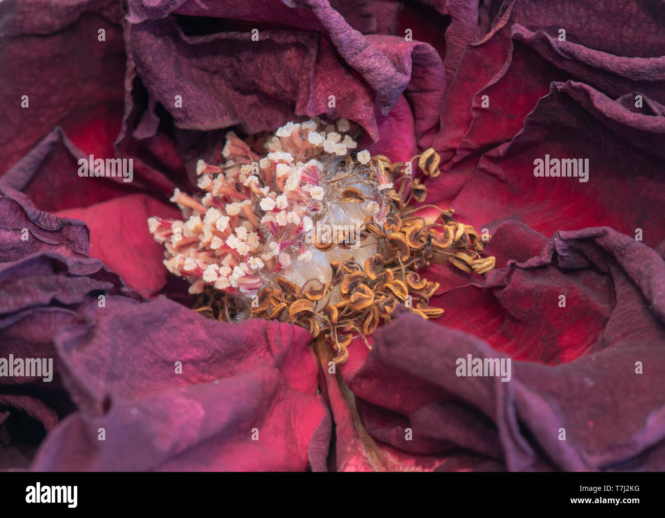 Fine art still life floral macro of the heart of an aged lush purple dark red velvety rose blossom with detailed texture - Stock Image