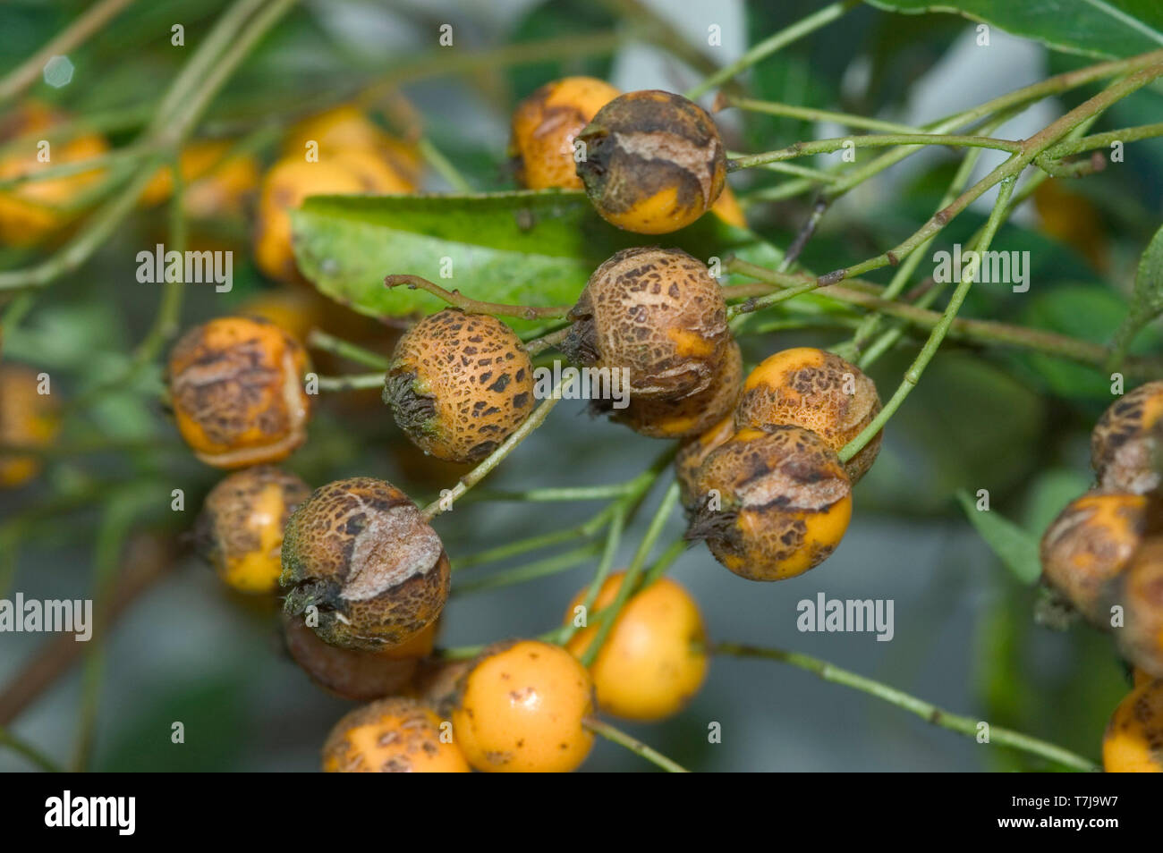 Scab (Venturia inaequalis) disfigurement and spots on berry fruits of an ornamental firethorn (Pyracantha) - Stock Image