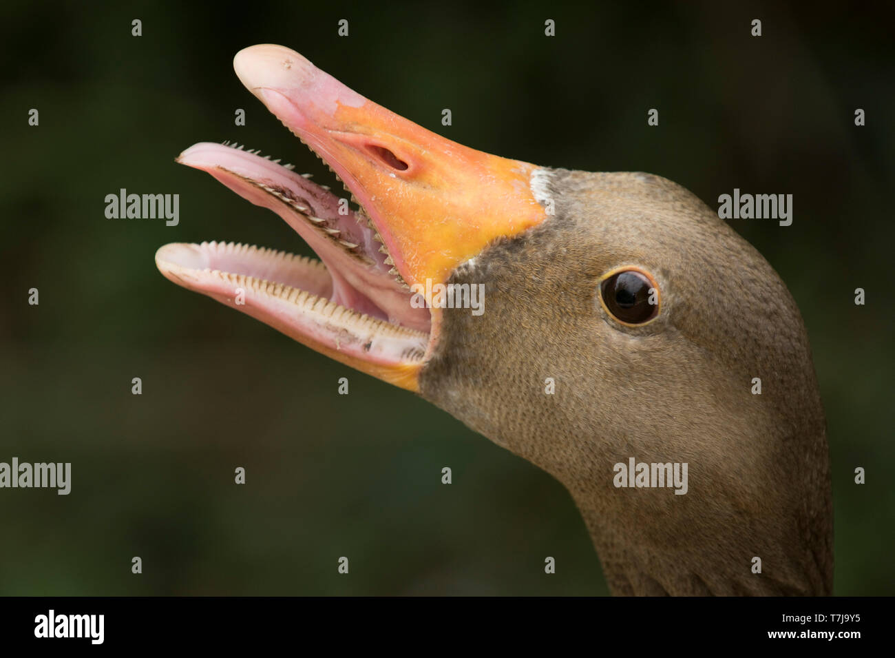 Head of a female greylag goose (Anser anser) with beak open and hissing to protect its goslings, Arundel WWT, July - Stock Image