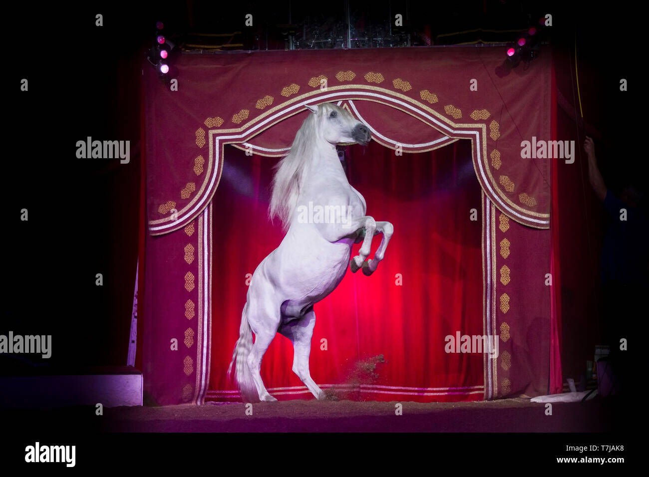 Pura Raza Espanola, Andalusian. Gray stallion in a circus, rearing in front of a red curtain. Austria - Stock Image