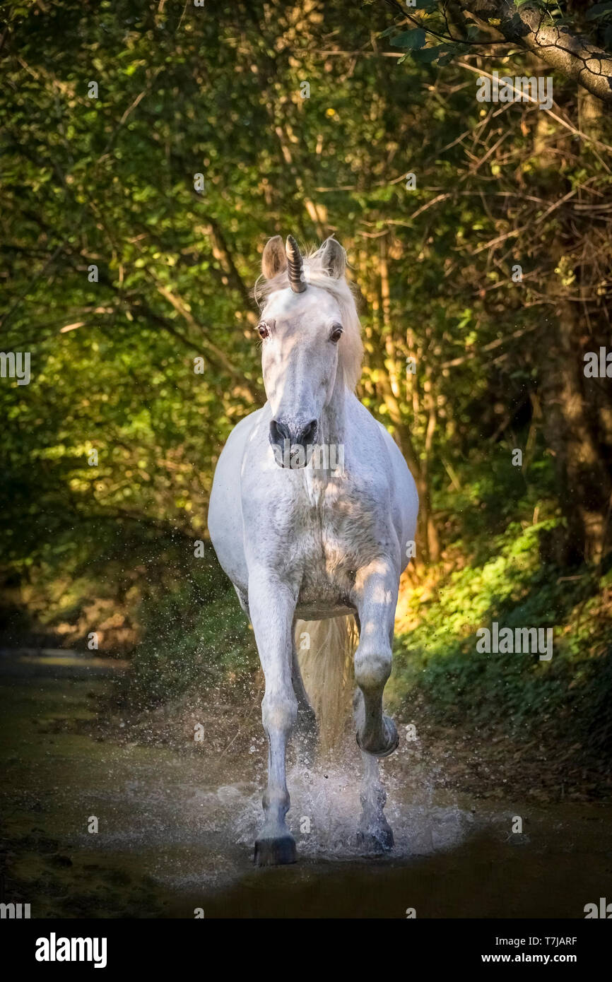 Unicorn (Pure Spanish Horse with attached horn) galloping in a stream in a forest. Germany - Stock Image