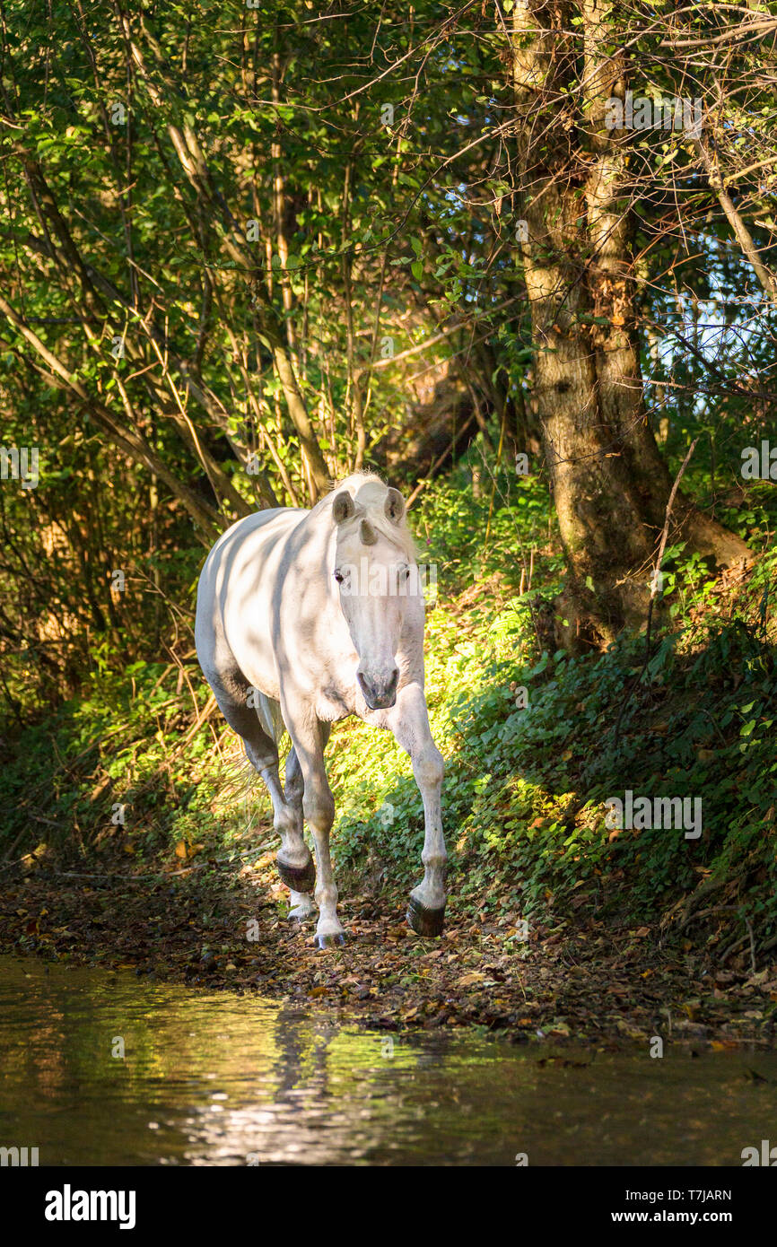 Unicorn (Pure Spanish Horse with attached horn) walking in a forest. Germany - Stock Image