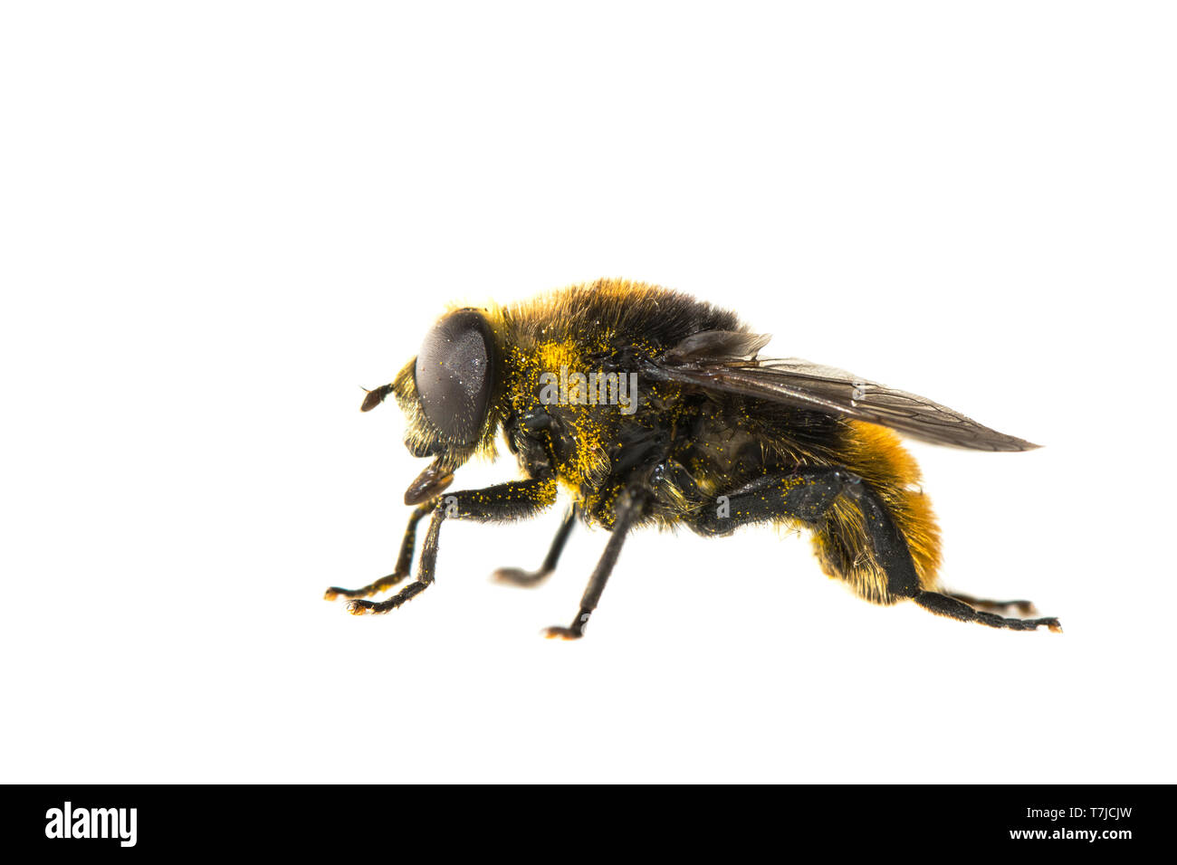 Narcissus bulb fly, Merodon equestris Stock Photo