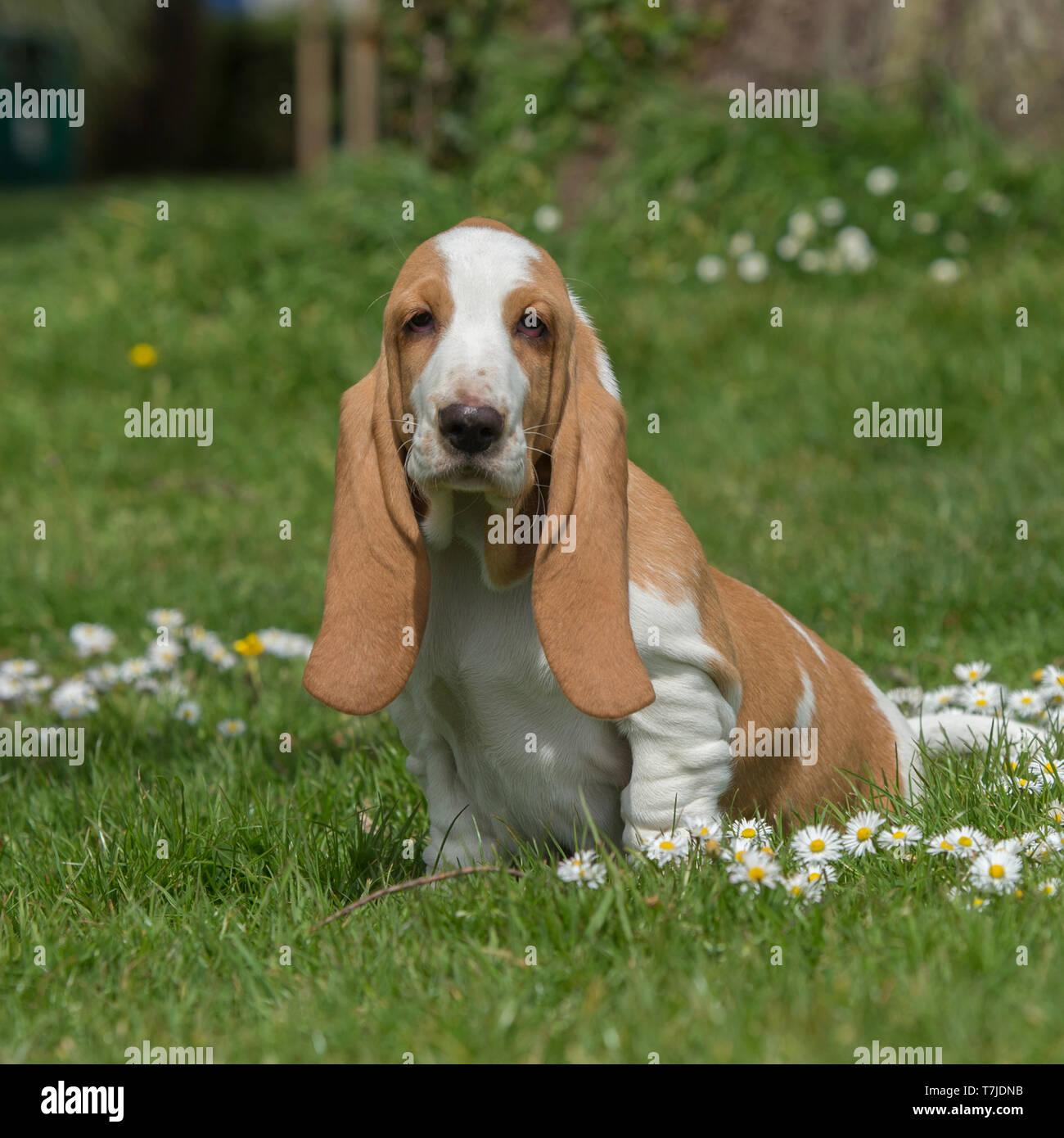 basset hound puppy - Stock Image