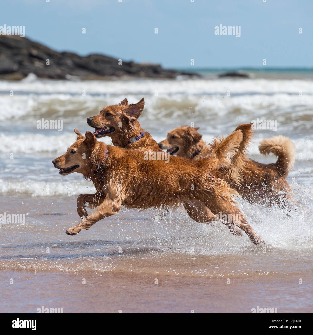golden retrievers playing in the sea - Stock Image